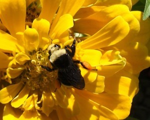 Bombus vosnesenskii, the yellow-faced bumblebee studied by Shalene Jha and Clair