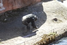Chimpanzee uses innovative foresighted methods to fool humans