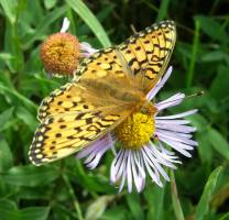 A Mormon fritillary butterfly visiting an aspen fleabane daisy. This flower is t