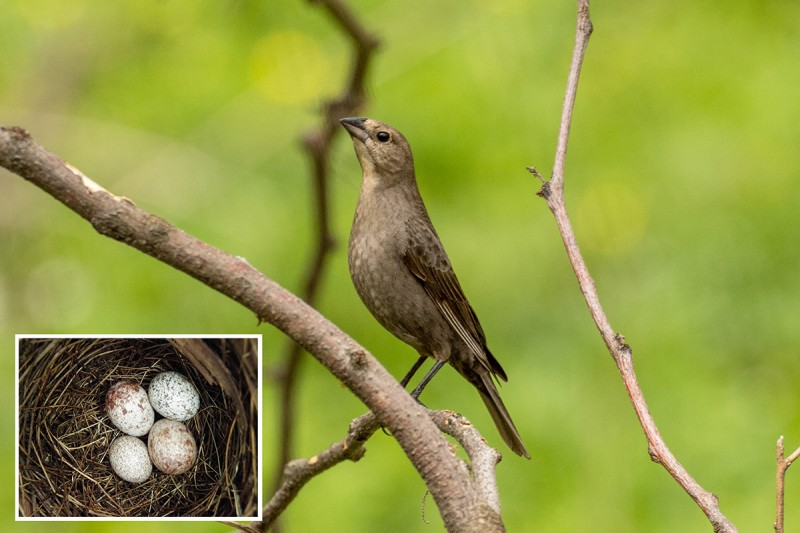 Cowbird moms pay attention to the size of eggs in the nests they choose for egg