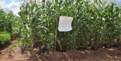 Intercropping of maize and pigeon peas in Malawi: after just one season, soil f