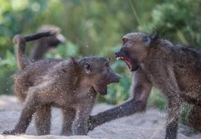 An aggressive interaction between baboons