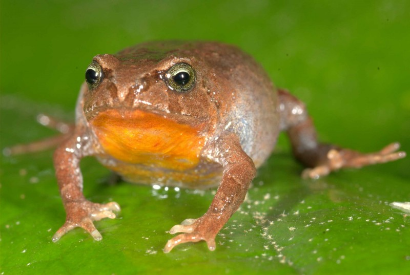 Bryophryne hanssaueri  is one of the 22 species included in the Peruvian frog s
