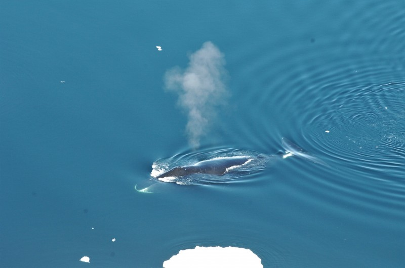 A bowhead whale surfaces in Fram Strait, to the northwest of Norway. Kit Kovacs/