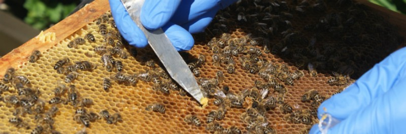 Honeybees - picture credit Dr Philip Donkersley