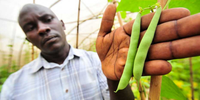 A genetic selection method helps African breeders to grow beans that are disease