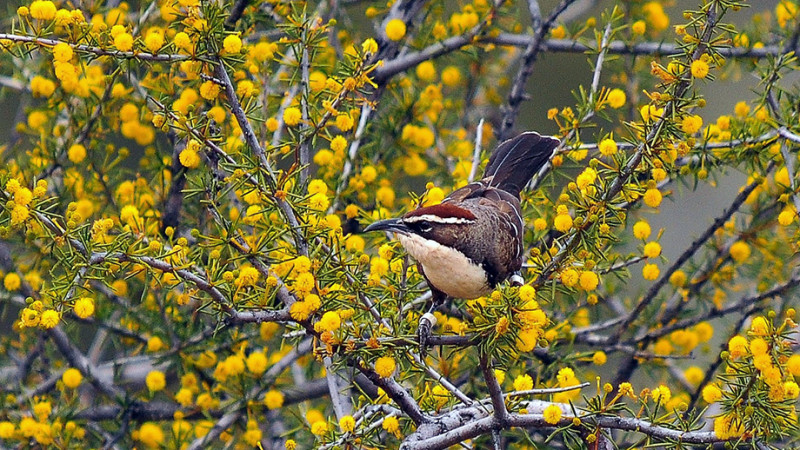 The chestnut-crowned babbler examined in the study lives in the Australian outba