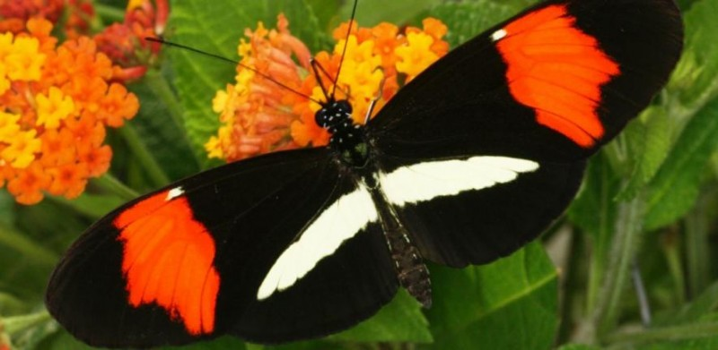 Heliconius melpomene amaryllis                   Credit: Chris Jiggins