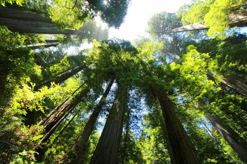 Trees such as these in Sequoia National Park will continue to absorb carbon diox