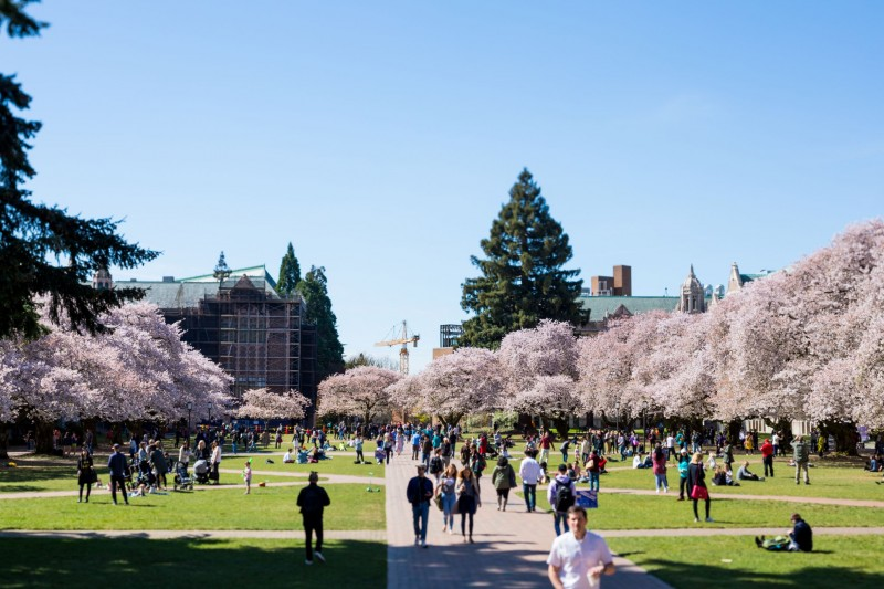 Cherry tree blossoms in full bloom in the University of Washington Quad in Seatt
