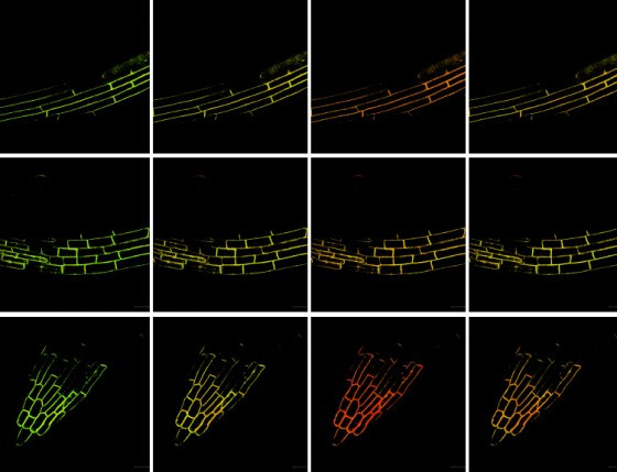 Microscopy images (FRET method) of three different regions of a root showing cha