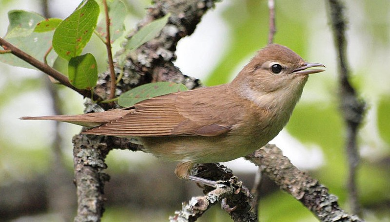 Garden warbler (Foto: FLICKR/Billyboy, CC BY 2.09