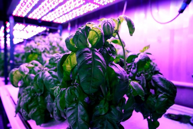 Researchers in MIT's Open Agriculture Initiative grow basil under controll