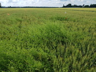 Cleavers can climb on top of winter wheat and generate competition for light at