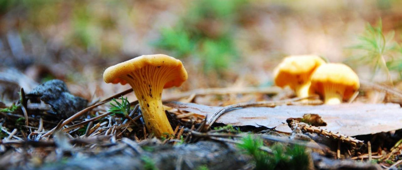 A team of scientists has quantified the key substances contained in chanterelles