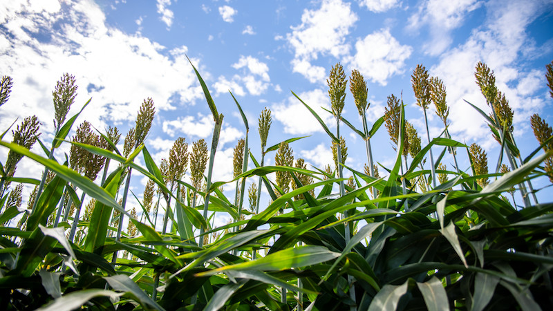 Sorghum, shown here at the Agronomy Field Headquarters in Davis, California, is