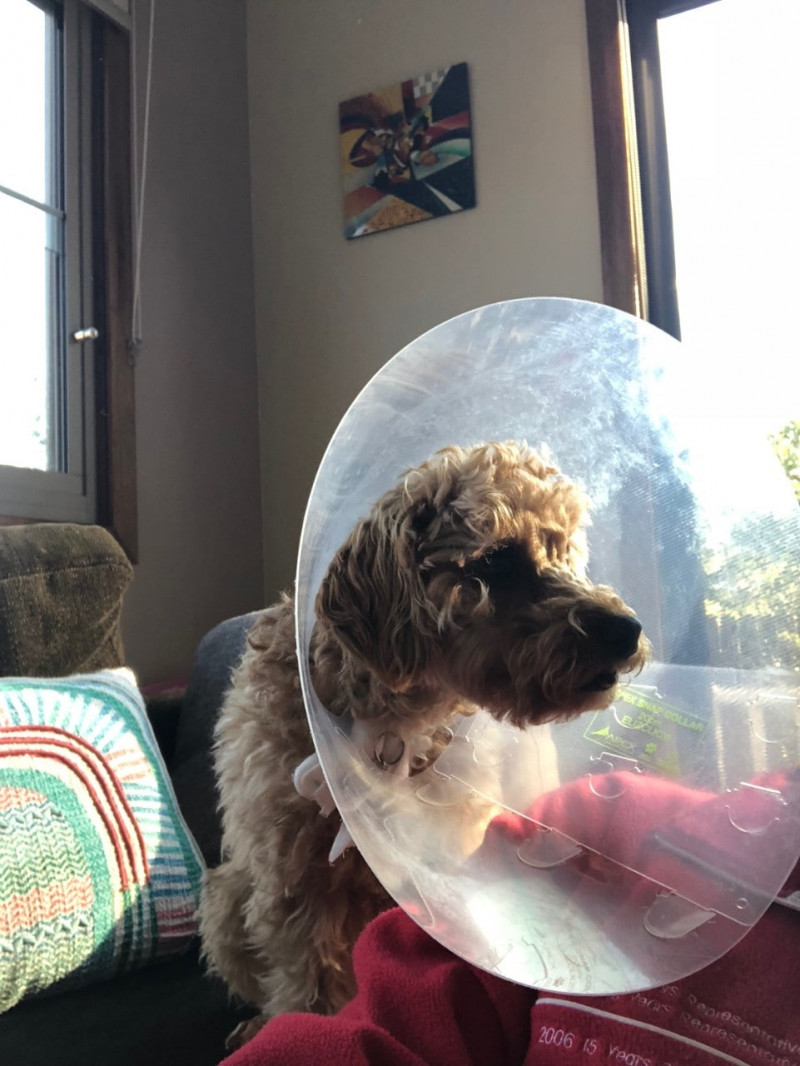 For many animals, it is essential to wear the cone to prevent them from pulling