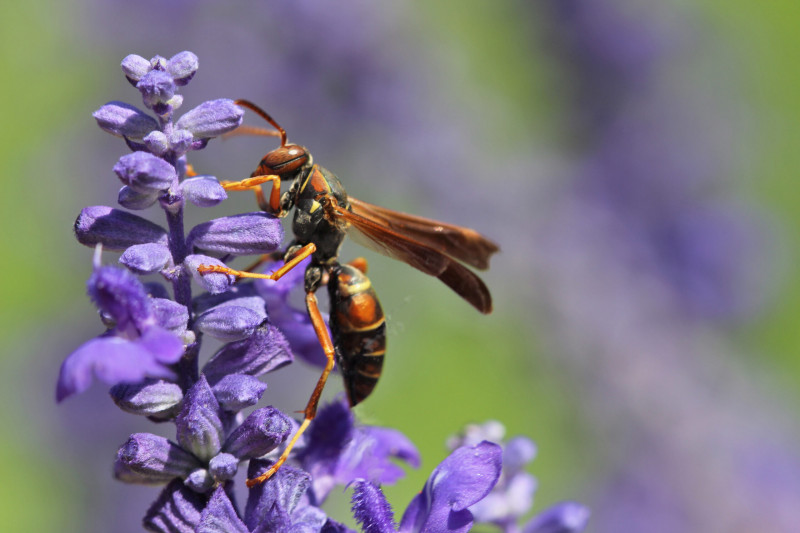 A Polistes fuscatus paper wasp on a flower. Image credit: Elizabeth Tibbetts