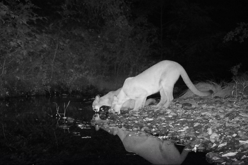 A night vision camera trap captured this image of mountain lions drinking from a