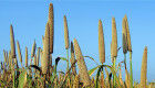 Cereal crops fighting the climate chaos
