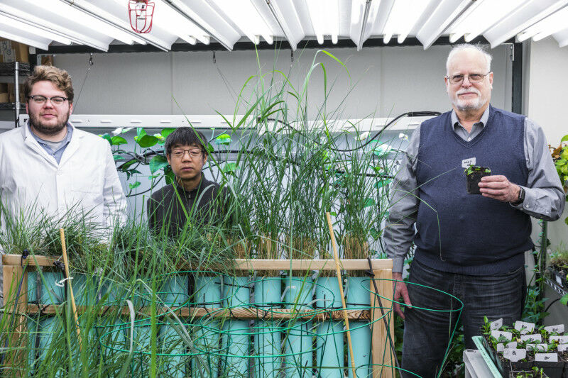 UW researchers genetically engineered a switchgrass (foreground) to break down t