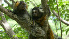 Marmoset Monkeys Eavesdrop On and Understand Conversations Between Other Marmosets
