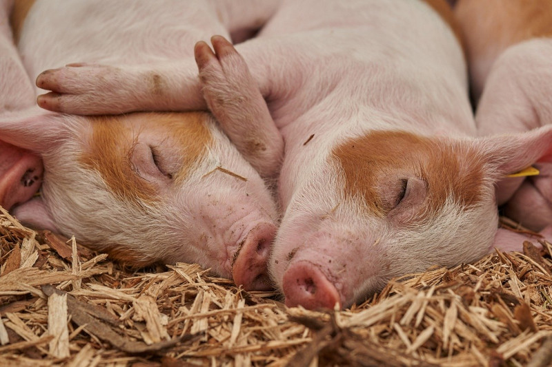Deadly bacterial infection in pigs deciphered