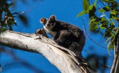 The greater glider went locally extinct about a decade ago in Australia's Booder