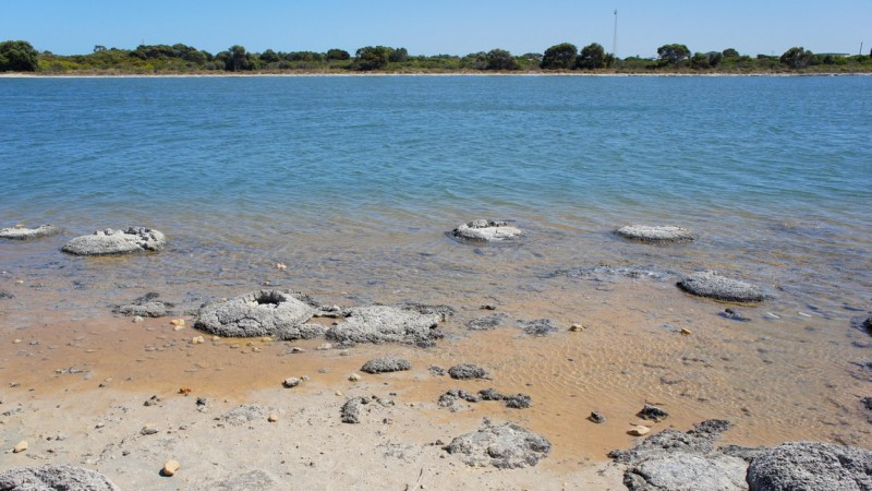 Remains of cyanobacteria biofilms (stromatolites) in Australia's Shark Bay