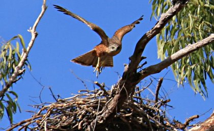 Male red goshawk (Erythrotriorchus radiatus) leaving the nest east of Musgrave S