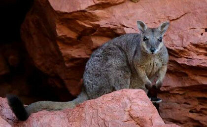 The short-eared rock wallaby (Petrogale brachyotis) of northern Australia has ne