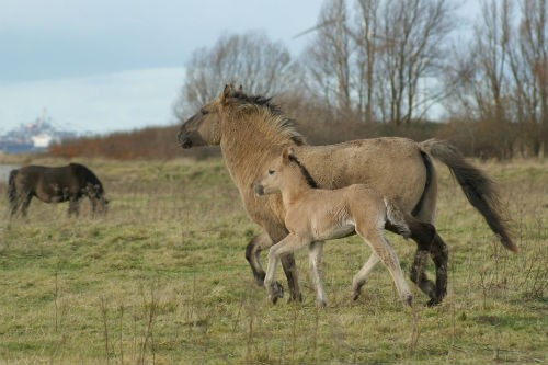 Trotting wild Konik horses. The evolution of the single-toed horse foot may have
