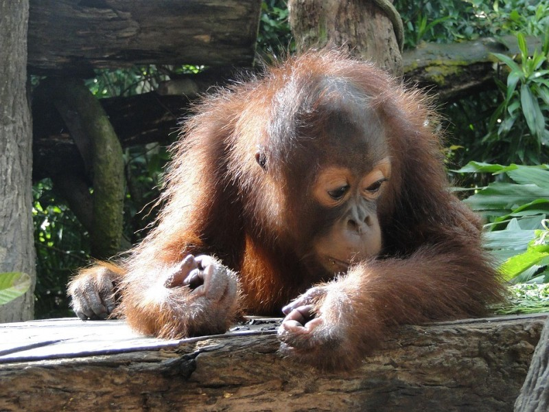 Borneo is one of the few remaining places on earth where orangutans survive in t