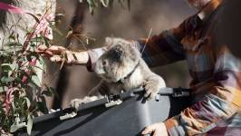 A koala is reintroduced to bush near the Two Thumbs Wildlife Sanctuary. Photo: J