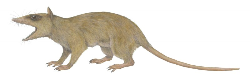 Illustration of  Alphadon , a small marsupial relative from the Cretaceous Perio