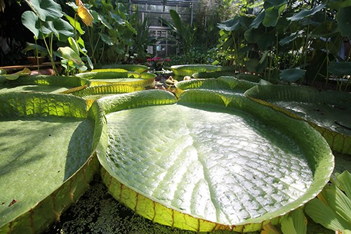 The giant Amazon waterlily at the Botanic Garden