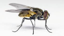 Depending on where the houseflies live, they use different methods for sex deter