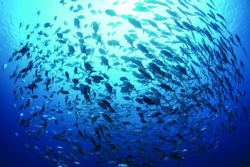 School of fish in the open ocean off the coast of Palau. Stanford experts worked