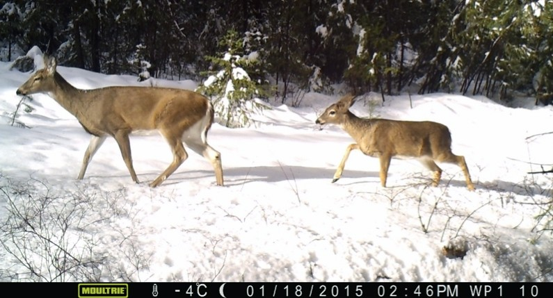 Two white-tailed deer seen in 2015 on a wildlife camera in eastern Washington. U