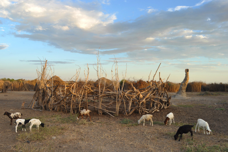 Goats grazing outside a corral in a Nyangatom settlement in Ethiopia.  (Image cr