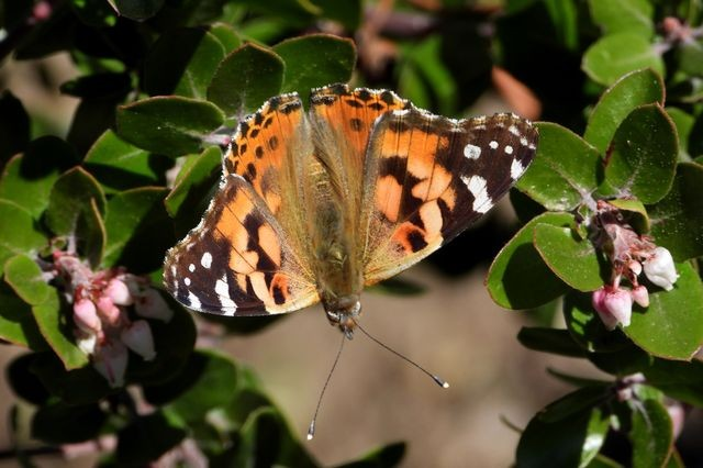 Nurit Katz/UCLA  										 A painted lady butterfly taking a rest in UCLA&rsquo