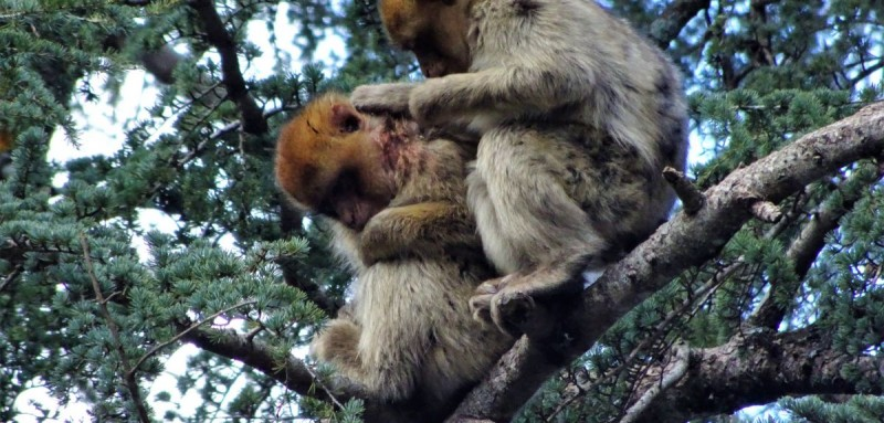 Pipo the macaque is groomed by an unfamiliar monkey after his accident.