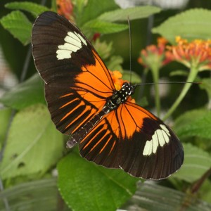 Heliconius melpomene aglaope - this race has shared its wing  pattern with ano
