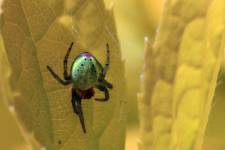 The pumpkin spider is one of the species observed for the study. Their name poin